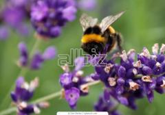 Пыльца цветочная