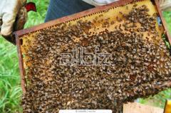 Отбор мёда из ульев для выкачки